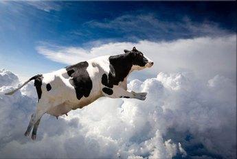 снится много лежащих коров